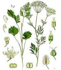 Anýz, jedna ze tří hlavních bylin používaných při výrobě absintu.