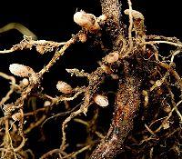 Rhizobia-bacteriën in knobbeltjes fixeren stikstof