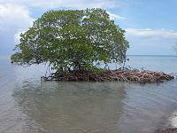 Mangrovebomen kunnen helpen eilanden te maken.