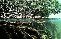 Mangrove wortelsysteem