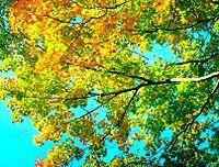Op het noordelijk halfrond beginnen de bladeren aan de bomen van kleur te veranderen rond de tijd van de 22/23 september-equinox.
