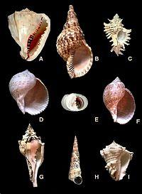 Maagpotigen A. Cassis madagascarensis (Cassididae), B. Charonia variegata (Cymatiidae), C. Chicoreus brevifrons (Muricidae), D. Tonna galea (Tonnidae), E. Nerita pelotonta (Neritidae), F. Tonna maculosa (Tonnidae), G. Turbinella angulata (Turbinellidae), H. Turritella variegata (Turritellidae), I. Vasun muricatum (Turbinellidae).