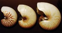Nautilusschelpen: N. macromphalus (links), A. scrobiculatus (midden), N. pompilius (rechts)