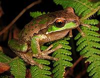 Żaba drzewna z Nowej Anglii (Litoria subglandulosa). Jej brązowo-zielony kolor kryje ją w umiarkowanym lesie.