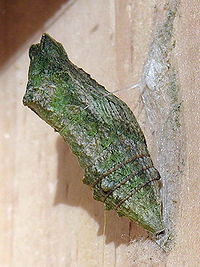 Jaskółczy ogon (Papilio machaon) chryzalis starego świata