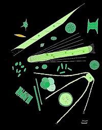 Fytoplankton bevat kleine eencellige eukaryoten die fotosynthese doen.