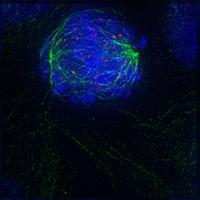 Wczesna prometafaza: otoczka jądrowa zniknęła, mikrotubule oddziałują z kinetochorami na chromosomach