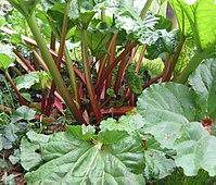 De overwoekerde bladstelen van rabarber (Rheum rhabarbarum) zijn eetbaar.
