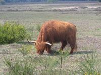 O gado das Highland Cattle está altamente adaptado ao clima frio.