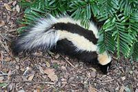 Das Stinktier ist ein Beispiel für den Aposematismus der Säugetiere.