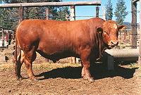 Um touro Symonds utilizado para a criação de gado de corte.