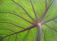 Rozvětvené žilky na spodní straně listu taro