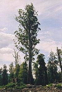 El Grande , etwa 280 Fuß hoch, der massivste (wenn auch nicht der höchste) Eucalyptus regnans wurde versehentlich von Holzfällern getötet, die die Überreste von legal gefällten Bäumen (weniger als 280 Fuß) verbrannten, die überall um ihn herum gefällt worden waren.