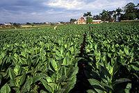 Een tabaksveld in Pinar del Río.