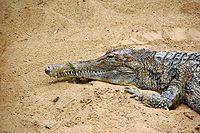 Vals gharial