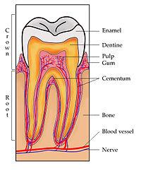 Menschlicher Zahn