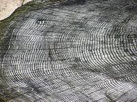 Die dunklen Linien zwischen der Mitte und der Rinde sind Markstrahlen, die es den Nährstoffen ermöglichen, über den Baumstamm zu fließen.
