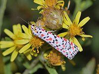 Purpurgesprenkelte Motte: Die Funktion ihrer Farbe ist nicht bekannt, vielleicht aposematisch. Die Hinterflügel sind anders und eher normal.