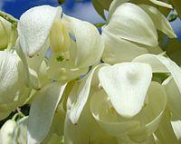 Hesperoyucca whipplei (mottenbestäubt)