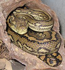 """Australijski dywan Python, jedna z form postaci """"tęczowego węża"""" może przybrać postać """"tęczowego węża""""."""