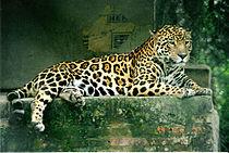 Een jaguar
