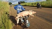 Mann trägt ein Schwein auf einem Fahrrad in Sambia