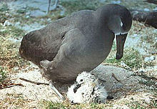 Albatrosse kümmern sich um ihre jungen Küken, bis diese groß genug sind, um sich zu verteidigen.