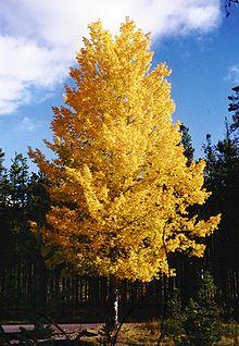 Die zitternde Espe in ihren Herbstfarben
