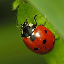 Ein Käfer (Marienkäfer oder Marienkäfer). Der rote Teil ist das harte vordere Flügelpaar oder Elytra.