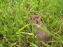 Ein junges Kaninchen schaut durch das Gras.