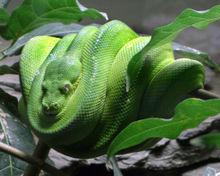 Eine Python in einem Baum