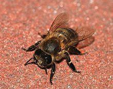 Oklahoma's staatsinsect de honingbij