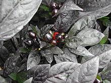Schwarze Pflanzen können mehr Strahlung absorbieren, und doch sind die meisten Pflanzen grün