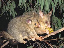 Wprowadzone gatunki, takie jak opasica zwyczajna, są często wolne od wielu zwykłych pasożytów.