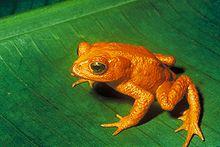 Die Goldkröte von Monteverde, Costa Rica, wurde zuletzt 1989 gesehen