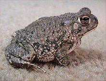 Diese Texas-Kröte hat eine raue (harte) trockene Haut