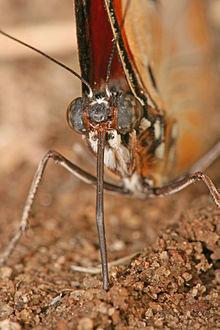 Głowa motyla