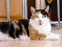 Die Inaktivierung eines der X-Chromosomen ist für die Muster bei Kattunkatzen verantwortlich