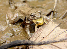 Amphibien sind Raubtiere. Wenn keine Nahrung zu finden ist, fressen sie sich gegenseitig auf.