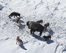 Lupi che cacciano un bisonte.