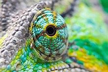 глаз хамелеона