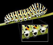 Proleg,Papilio machaon