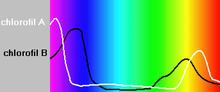 Absorptionsmaxima der Chlorophylle gegen das Spektrum des weißen Lichts. [Quelle?]