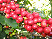 Koffievruchten (bonen)