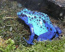 Die Haut dieses Pfeilgiftfrosches ist blau. Diese Farbe warnt Tiere, dass sie giftig sind.