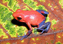 Oophaga pumilio , trująca żaba dart, zawiera liczne alkaloidy, które odstraszają drapieżniki