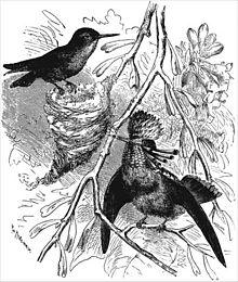"""Ilustracja z """"Zstąpienia mężczyzny"""" i selekcji w odniesieniu do płci autorstwa Charlesa Darwina przedstawiająca Tufted Coquette Lophornis ornatus, kobieta po lewej stronie, mężczyzna po prawej stronie ozdobiony."""
