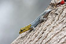 Dwerggeelkopgekko met regenererende staart