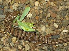 Een zuidelijke aligatorhagedis die een bidsprinkhaan eet