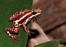 Trucizna fantasmalowa żaba